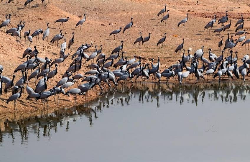 Best Resort in Jodhpur For Bird Lovers To Stay at While Visiting Khichan Safari